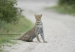 African Leopard, Panthera pardus pardus, Hwange National Park, Zimbabwe (Jeremy Smith Photography) Tags: leopard africanleopard pantheraparduspardus hwangenationalpark safari jeremysmith jeremysmithphotographycouk bigcat