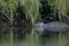 European Otter (Benjamin Joseph Andrew) Tags: winter mammal aquatic freshwater stream predator looking