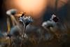 Au revoir et à jamais (Fab. B) Tags: cox coccinelle ladybug ladybird insect fleur flower daisy sunset backlight bokeh canon 7d sigma 180 fabienbravin