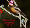 Scarlet Robin Petroica boodang Petroicidae (Griffins Photos) Tags: scarlet red bird robin tree australia merry christmas