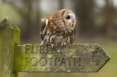 Owl (John Thirkell) Tags: bird animal animals owl owls foot path footpath sign signs wood direction directions wild free nature