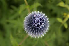 Alonium (yabberdab) Tags: allium fantasticflower