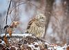 Shake it off... (DTT67) Tags: 14xtciii 500mm 1dxmkii canon birdofprey forest snow nature wildlife owl barredowl