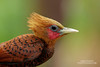 Chestnut-colored Woodpecker (www.NeotropicPhotoTours.com) Tags: woodpecker costarica juancarlosvindas chestnutcoloredwoodpecker carpintero celeuscastaneus birdphotography tours expeditions birdwatching canongear profile sideview nature wildlife photo photography colorimage recentwork male beak feathers 2017 picidae explore pajaro ave