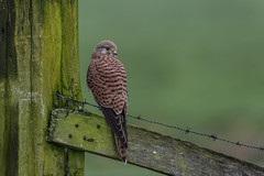 R17_9885-2 (ronald groenendijk) Tags: cronaldgroenendijk 2017 falcotinnunculus rgflickrrg animal bird birds birdsofprey groenendijk holland kestrel nature natuur natuurfotografie netherlands outdoor ronaldgroenendijk roofvogels torenvalk vogel vogels wildlife