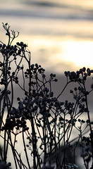 cliff top flowers (suzannesullivan2) Tags: flowers silhouette clifftop