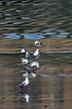 LIfe at the red billed gull colony (Maureen Pierre) Tags: life behaviour feeding eating fighting flying redbilledgull newzealand red reflection pattern