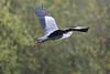 DSC_4367 (rtatn8) Tags: amwellnr hertfordshire england uk wildlife bird greyheron ardeacinerea flikr