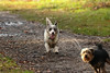 photobomb (stellagrimsdale) Tags: dog running tounge grass green park eyes fur path dogs animal pet
