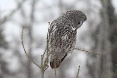 Great Grey Owl - the grey ghost of the boreal forest (Laura Rowan) Tags: greatgreyowl saxzimbog minnesota bird birding raptor winter snow