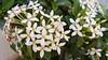 India 2017 141 (megegj)) Tags: gert flower bloem fleur blume india