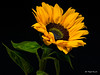 Sunflower (Magda Banach) Tags: 80d canon blackbackground colors flora flower macro nature plants sunflower sigma150mmf28apomacrodghsm