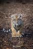 Moka (ToddLahman) Tags: moka bengaltiger tiger tigers tigertrail tigercub beautiful mammal male outdoors lowlight sandiegozoosafaripark safaripark escondido eyelock exhibita canon7dmkii canon canon100400 closeup