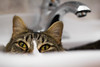 Sink Cat | 5/365 (Cassidy Walker) Tags: 365the2018edition 3652018 day5365 05jan18 cy365 potd 365project sink bathroom t5i canont5i canon