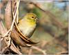 American Goldfinch on Turmpet Vine DSC_2037 (blindhogmike) Tags: pájaro oiseau vogel