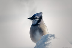Winter Jay (CoreyBourassaPhoto) Tags: 7d 7dmarkii 7dmii bluejay canon dslr ef100400f4556lisusm eos eos7dmii winter bird blue cold perched sitting sittinginsnow snow white