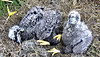 Aren't we getting big? Mom & Dad let us babysit each other now! (heights.18145) Tags: americaneaglefoundation romeo juliet eggs ccncby eagles