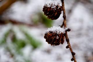 Pinecones in the snow ��