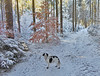 Winnie im Winterwald (Claude@Munich) Tags: germany bavaria upperbavaria oberhaching deisenhofenerforst winter snow forest wood tree trees europeanbeech commonbeech beech claudemunich bayern oberbayern winnie hund schnee wald baum bäume fagussylvatica rotbuche