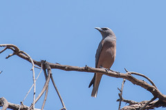 White browed woodswallow (crispy1612) Tags: whitebrowedwoodswallow nikon d500 nikon200500 f56 birdlife andersons track chiltern mount pilot national park