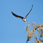 Morro Bay Osprey-2 thumbnail