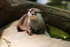 Cute Otter (Mark Harris photography) Tags: otter animal smallclawed cuteness zoo