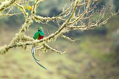 Resplendent Quetzal (Pharomachrus mocinno) perched in a mossy branch (Chris Jimenez Nature Photo) Tags: tours prey cricked trogons san pharomachrus mocinno light rica quetzal food fly flight nesting workshopsmorning dota costa nest jimenez resplendent gerardo chris centralamerica