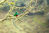 Resplendent Quetzal (Pharomachrus mocinno) perched in a mossy branch (Chris Jimenez Nature Photo) Tags: tours prey cricked trogons san pharomachrus mocinno light rica quetzal food fly flight nesting workshopsmorning dota costa nest jimenez resplendent gerardo chris centralamerica