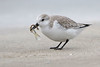 Sanderling (Alan Gutsell) Tags: birds birding alan wildlife nature texasbirds texas wildlifephoto photo coast gulf sanderling shorebird