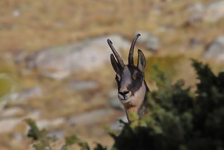 Chamois Rupicapra rupicapra
