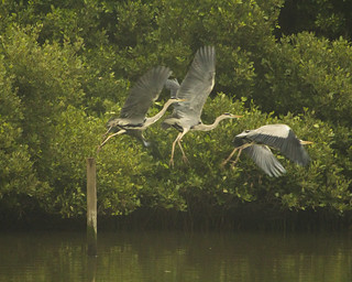 Take off - heron