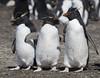 Rockhopper Penguins (richard.mcmanus.) Tags: rockhopperpenguin falklands falklandislands malvinas antarctica subantarcticislands bird penguins mcmanus animal wildlife