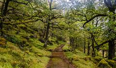 Oak walk (davidsedlacek) Tags: highlands walkhighlands scotland tranquility tranquilscene tranquil exploremore explore nature mountains landscape view grass oak trees forest