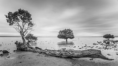 Tenby Point Mangroves (laurie.g.w) Tags: tenbypoint mangroves westernportbay westernport bay water trees sky cloud sunsey bw blackandwhite victoria australia coast shoreline waterscape basscoast tokina17mm