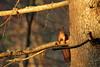 Harilik orav ehk punaorav (Sciurus vulgaris), red squirrel (Olavi Hiiemäe) Tags: harilik orav trunk punaorav sciurus vulgaris red squirrel estonia elva peedu