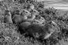 Capivara (Hydrochoerus hydrochoeris) (Luiz Henrique Foto) Tags: luizhenriquephoto ©luizhenriquerocharodrigues todososdireitosreservados estadodesãopaulo lago bragançapaulistasp animal luizhenriquefotografia luizhenriquefoto filhote água ©lalabradshaw lagodotaboão roedor wwwluizhenriquefotocombr horizontal fauna desenhandoaluz capivara mamífero agua allrightsreserved animalia bragança bragançapaulista capybara caviidae chordata hydrochoerinae hydrochoerus hydrochoerushydrochaeris hystricomorpha lake mammal mammalia rodent rodentia sp sãopaulo water brasil br grama vegetal flora verde