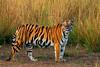 royal bengal tiger (panthera tigris) (nature_photos_by_soumya) Tags: royalbengaltiger pantheratigris tadoba maharashtra