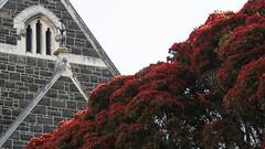 NZ Christmas tree (Ian@NZFlickr) Tags: rata southern summer flowering bees knox church dunedin otago nz