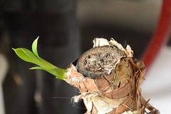 DSC_2520 (amoamas07) Tags: yukka plant shoots cuttings