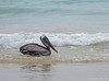 Pelican_Brown_5664364 (suzifleck2) Tags: galapagos brown pelican pelecanus occidentalis urinator bird