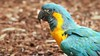 Gelbbrustara/Yellow breast parrot (babsbaron) Tags: nature tiere animals vogel vögel birds papagei ara parrot gelbbrustara yellow zoo köln