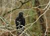 Black Vulture  12-6-17 (Cal-Photo) Tags: wildlife nature tennessee middletennessee vulture blackvulture