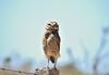 Coruja buraqueira - Burrowing Owl (jivagoferrer) Tags: observaves owl coruja