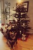 Mom, this is boooooooring.... (evakongshavn) Tags: sundaylights christmasspirit christmastree christmashouse christmasdecoration christmasdecorations christmas christmastradition christmas2017 dog christmasdog santa santaclaus