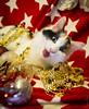 20171203_0611c (Fantasyfan.) Tags: yule kitten turkish van fantasyfanin christmas