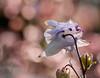 ..may light stream into you.. (dawn.tranter) Tags: dawntranter bokeh light heavenly maylightstreamintoyou petals flower garden joyfilled backlit backlight