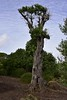 Olivenbaum (Olea europaea); Luz (Lagos), Portugal (153) (Chironius) Tags: portugal algarve luz asterids lamiids lamiales lippenblütlerartige oleaceae ölbaumgewächse ölbäume olea olivenbaum baum bäume tree trees arbre дерево árbol arbres деревья árboles albero árvore ağaç boom träd