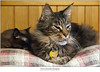 Alnitak with Sidekick (Sherwood Harrington) Tags: pets cats alnitak guinness mainecooncat sableburmese catface