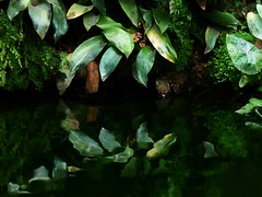 Water Plants (Steve Taylor (Photography)) Tags: hallplace black brown green uk gb england greatbritain unitedkingdom leaves reflection spring pond