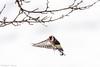 _JHS9543 (Bribes de terre) Tags: faune oiseau hiver chardonneret